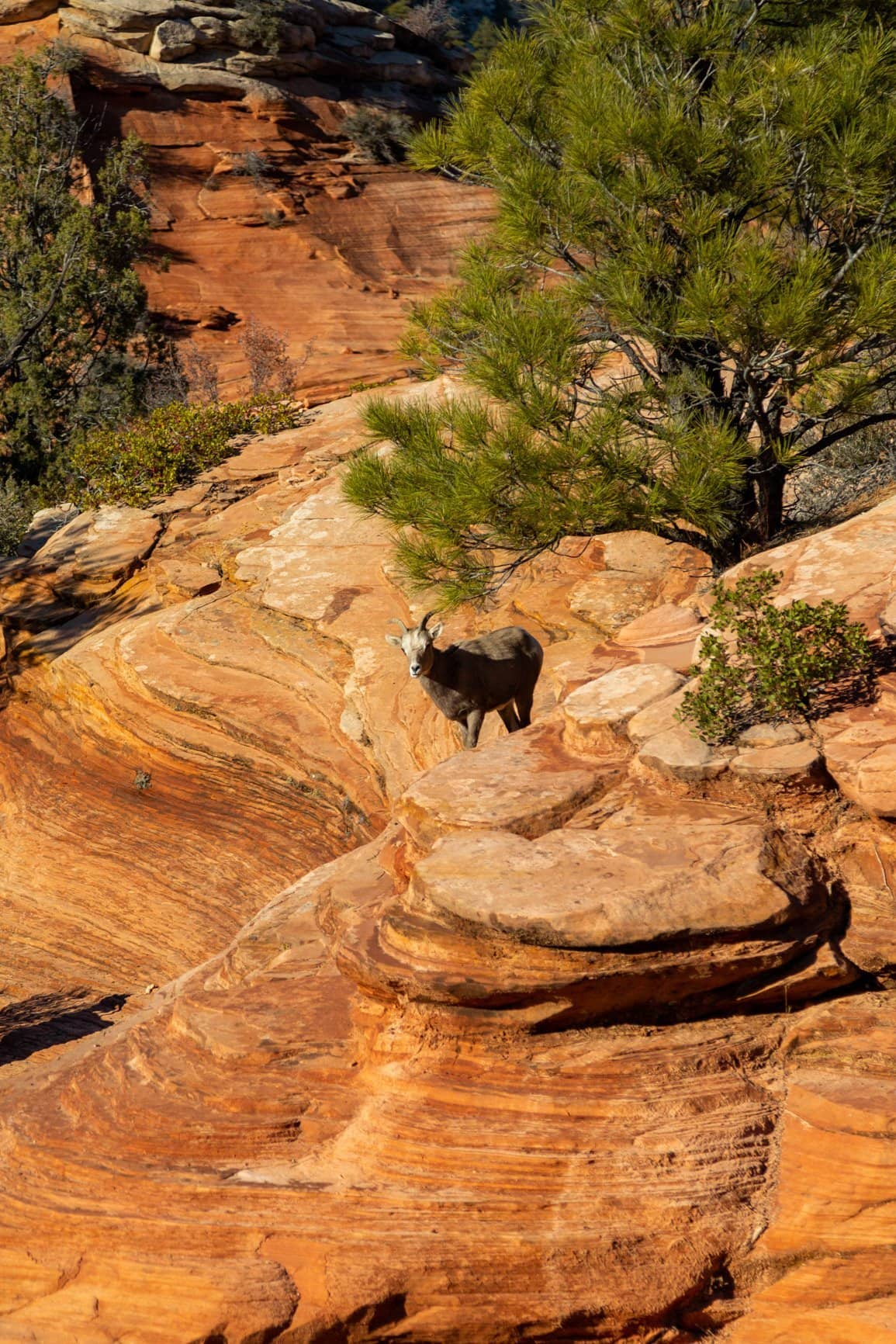 sheep spotting in Zion National Park. Plan your wedding day in a national park like Zion to see wildlife