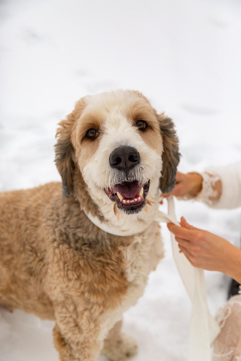 best dog for their elopement day
